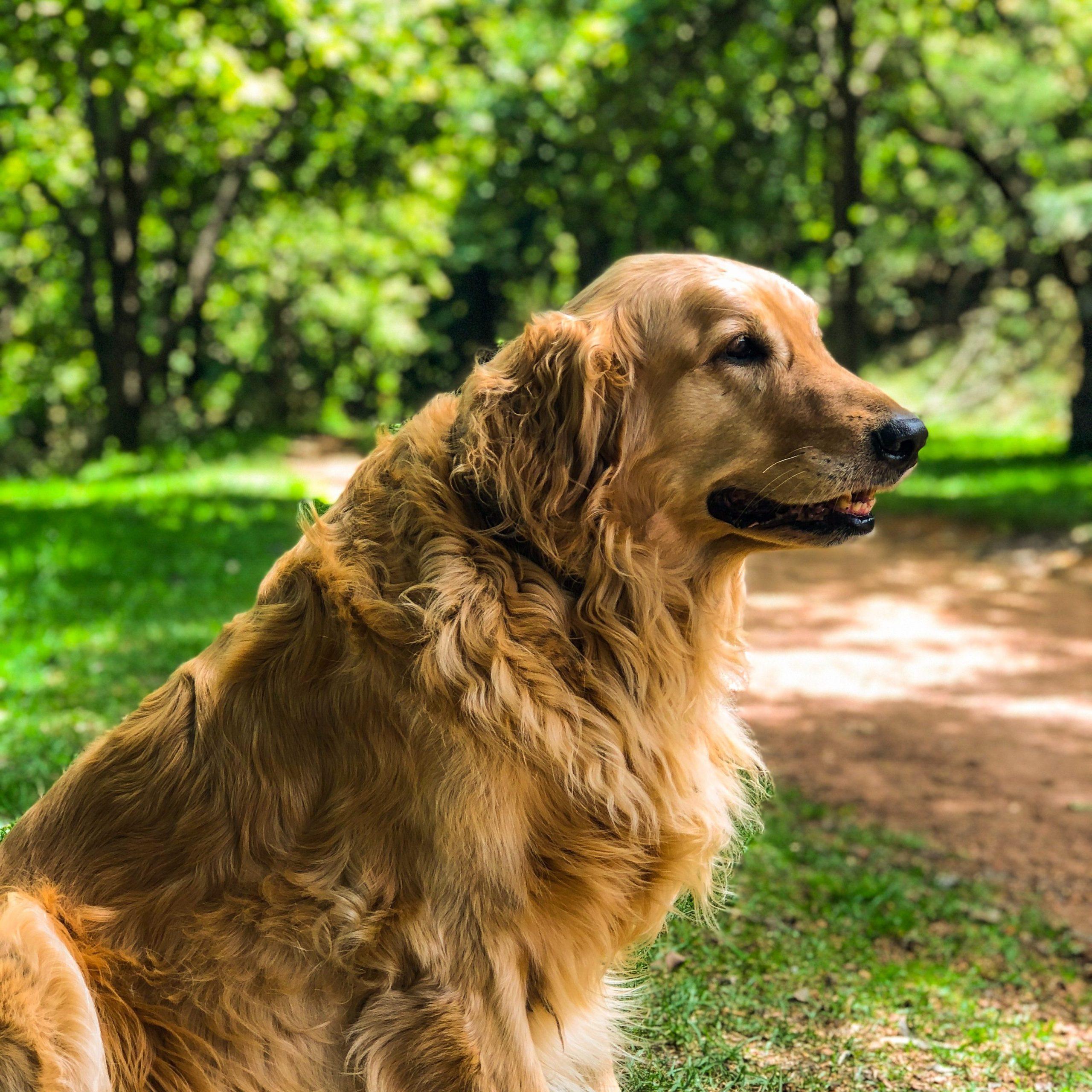 chien de race