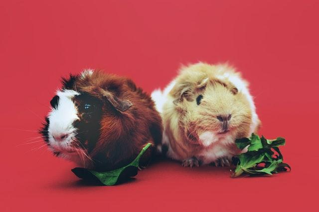 Deux cochons d'inde